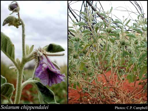 Photo of Solanum chippendalei Symon
