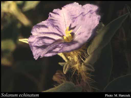 Photo of Solanum echinatum R.Br.