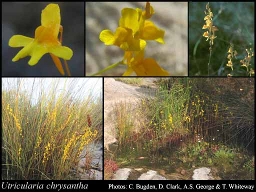 Photo of Utricularia chrysantha R.Br.