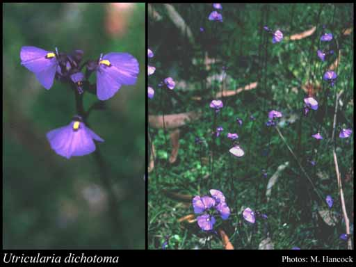 Photo of Utricularia dichotoma Labill.