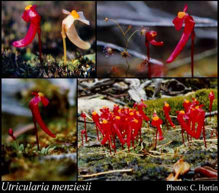 Photo of Utricularia menziesii R.Br.