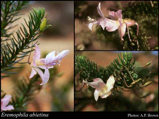 Photo of Eremophila abietina Kraenzl.