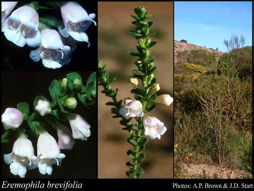 Photo of Eremophila brevifolia (Bartl.) F.Muell.
