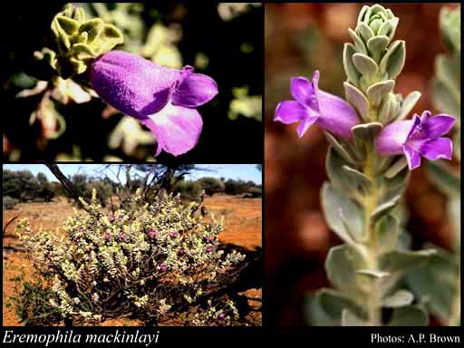 Photo of Eremophila mackinlayi F.Muell.