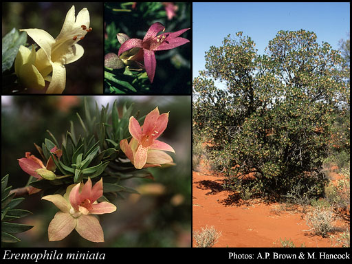 Photo of Eremophila miniata C.A.Gardner