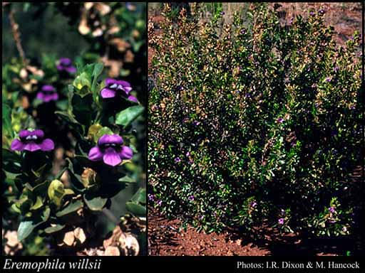 Photo of Eremophila willsii F.Muell.