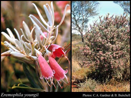 Photo of Eremophila youngii F.Muell.