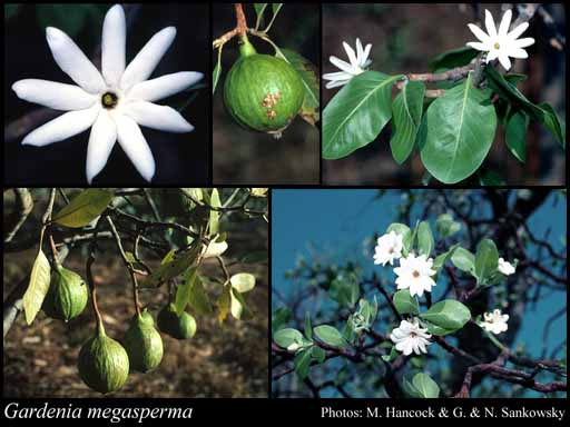 Photo of Gardenia megasperma F.Muell.