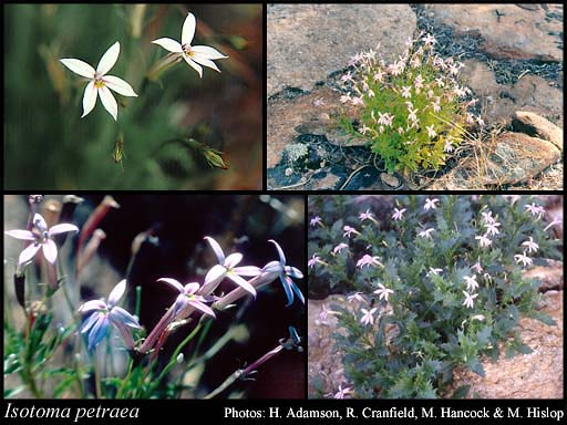 Photo of Isotoma petraea F.Muell.