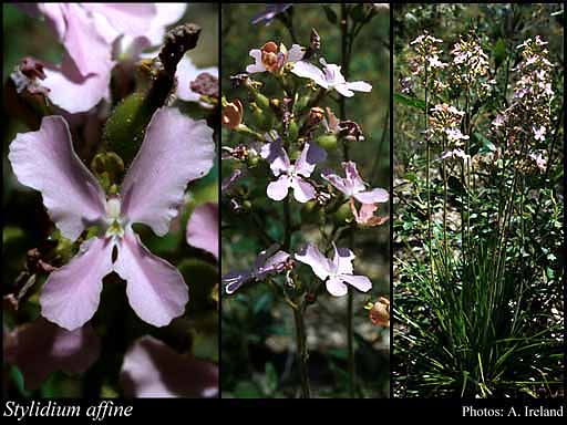 Photo of Stylidium affine Sond.