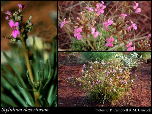 Photo of Stylidium desertorum Carlquist