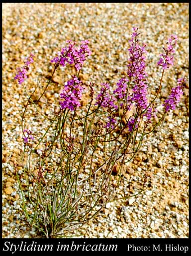 Photo of Stylidium imbricatum Benth.