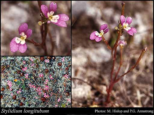 Photo of Stylidium longitubum Benth.
