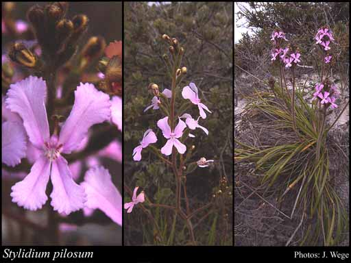 Photo of Stylidium pilosum (Labill.) Labill.