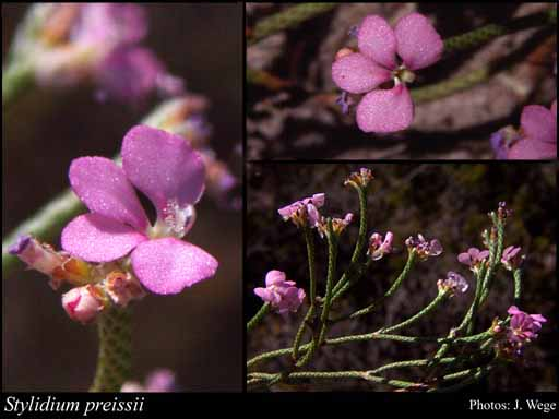 Photo of Stylidium preissii (Sond.) F.Muell.
