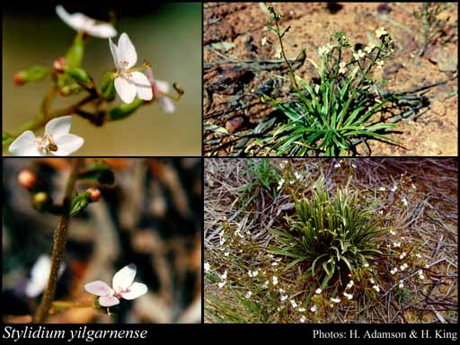 Photo of Stylidium yilgarnense E.Pritz.