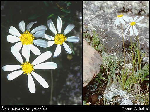 Photo of Brachyscome pusilla Steetz