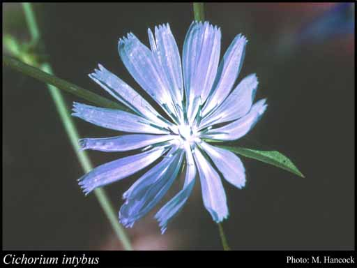 Photo of Cichorium intybus L.