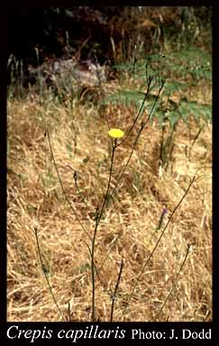 Photo of Crepis capillaris (L.) Wallr.