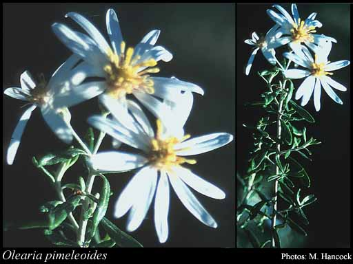 Photo of Olearia pimeleoides (DC.) Benth.