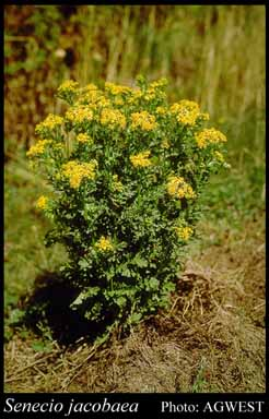 Photo of Senecio jacobaea L.