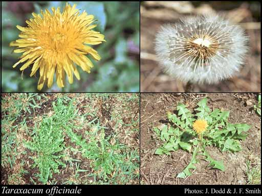 Photo of Taraxacum officinale F.H.Wigg.