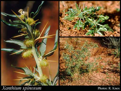 Photo of Xanthium spinosum L.